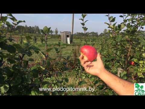 Яблоня сорт Рубин венгерский