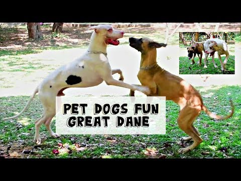 (Great Dane dogs) fun games in a park in Bangalore,India