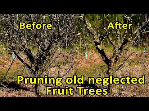 Pruning Fruit Trees   Rejuvenate fruit trees through pruning   Pruning old neglected fruit trees