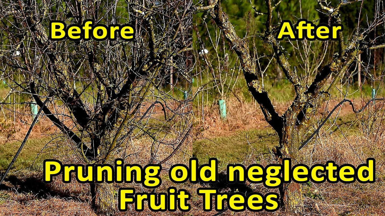 Pruning Fruit Trees Rejuvenate Through