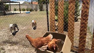 Yeni tavuk aldim tavuklari kesilmekten kurtardim artik yasiyacaklar :)