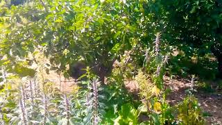Свинки тоже лазают по деревьям ! Микро пиг , микропиг , мини пиг , минипиг