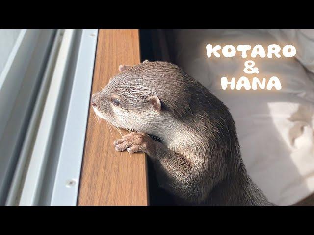 カワウソコタローとハナ 窓の外を一緒に眺める姿が可愛すぎ Otter Kotaro&Hana Gazing Outside the Window Together