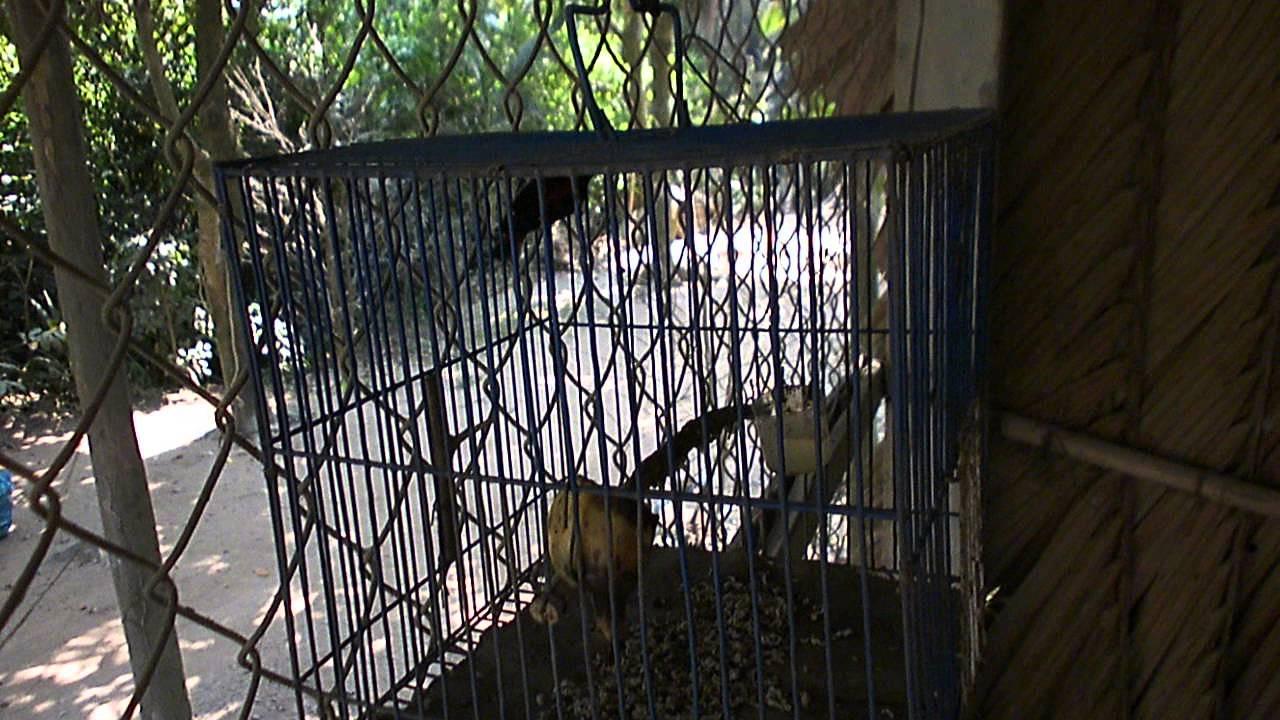Bán chim ốc mít 3 mùa 0909 998 568 ( đã bán )