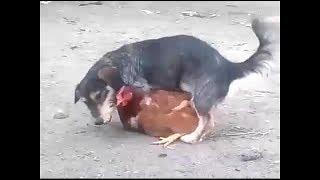 حالة نادرة تزاوج كلب مع دجاجة