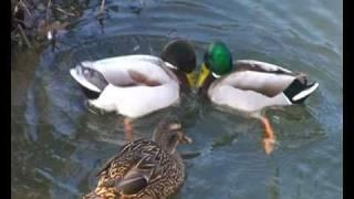 Mortal Duck Fights!