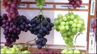 Виноград. Приусадебное хозяйство. Сад и огород.