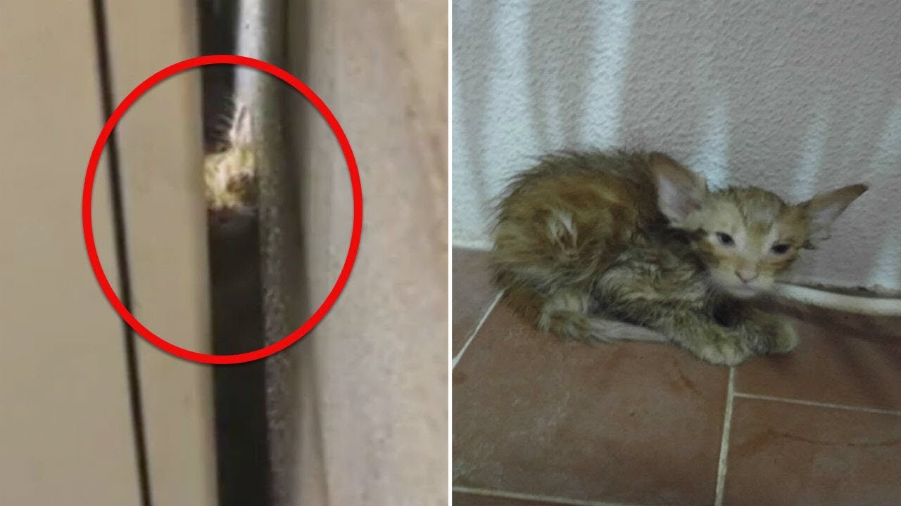 this-kitten-was-trapped-between-a-building-in-unbearable-heat-until-an-unlikely-rescuer-found-him