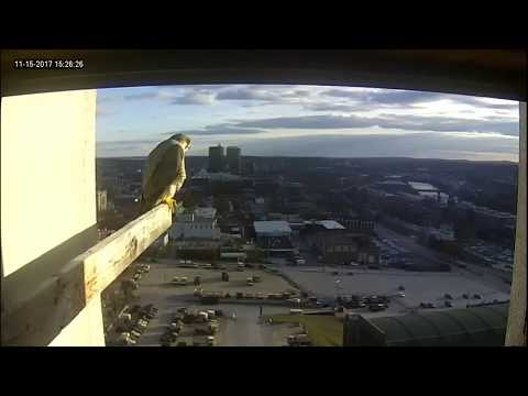 Single Digits Peregrine Falcon - Dad's visit and Mom's wonderful flying (20171115)