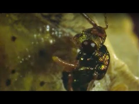 Caterpillar eaten alive by wasps - Natural World - The Secret Garden - BBC