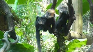 Video World's first different sex Francois' leaf monkey twins in good condition download MP3, 3GP, MP4, WEBM, AVI, FLV Oktober 2018