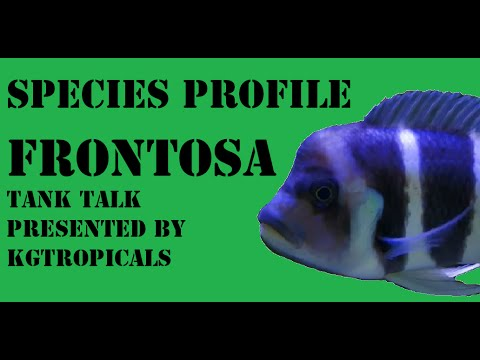 Species Profile Cyphotilapia Frontosa. Tank Talk Presented By KGTropicals