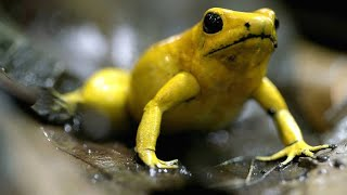 This South American Frog is Deadly to the Touch