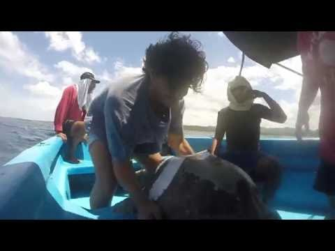Release of Radio Tagged Turtle Yamileth after Recapture