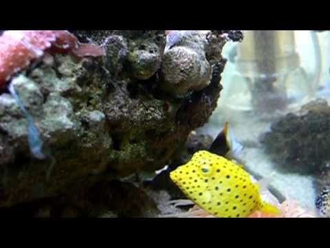 Yellowspotted Boxfish