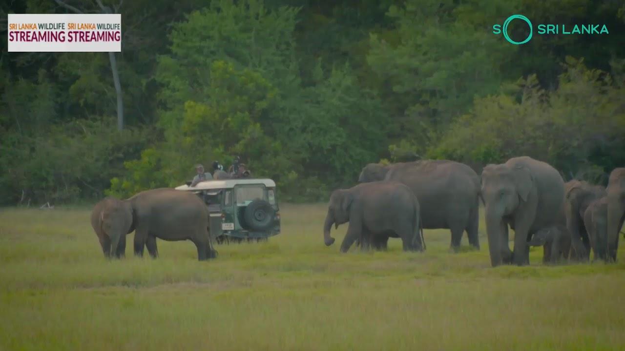 Sri Lanka Wildlife Streaming - Kaudulla (8th November)