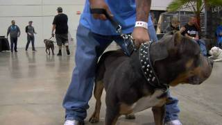 VEGAS SUPER BULLY SHOW