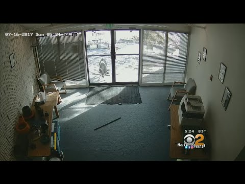 Grouchy Goat Smashes Door Of Colorado Business