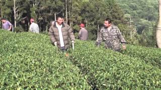 Taiwan Tea Plantation - Alishan | Tea Pursuit