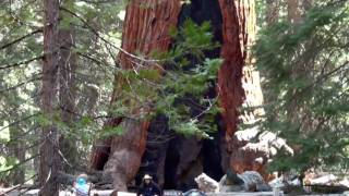 Giant Sequoias of Mariposa Grove