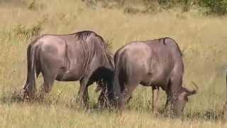 "Antylopy Gnu - dzika przyroda Afryki ,, Safari"""