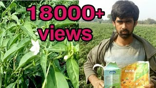 How to Grow chilli plants faster||which is best fertilizer for grow||Mirchi fast growing