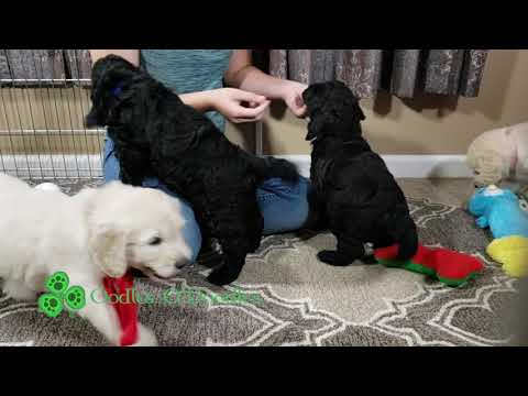 ARROW's Puppies - 6 Week Old F1 English Goldendoodles