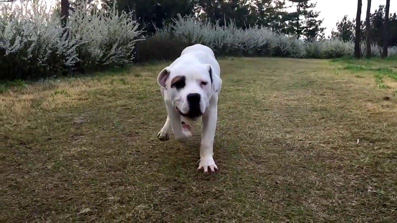 american bulldog x mastiff