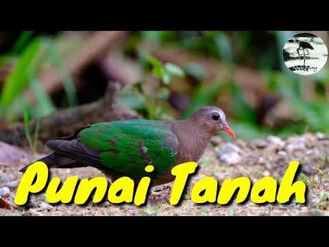 Suara Burung Punai Tanah Delimukan Youtube