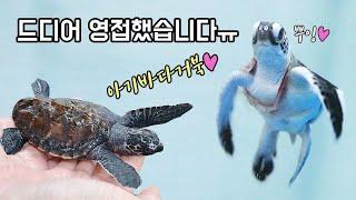 (심멎주의) 소원성취했네요...장난감이 아니라 실제 한국의 아기바다거북입니다. [TV생물도감]