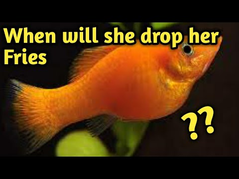 When Will Your Molly Fish Give Birth | When Will Female Molly Fish Drop Her Fries/babies