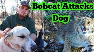 Bobcat Attacks Livestock Guardian Dog!