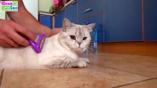 Вычесывать шерсть у кошек надо минимум раз в неделю, особенно, если это шотландская порода кошек