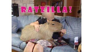 🐲 Weirdest Pets People Keep   RATZILLA ! 🐊