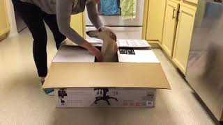 Greyhound Performs Jumping out of Box Trick - 1034960
