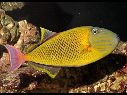 Xanthichthys Mento - Crosshatch Triggerfish @ Waikiki Aquarium