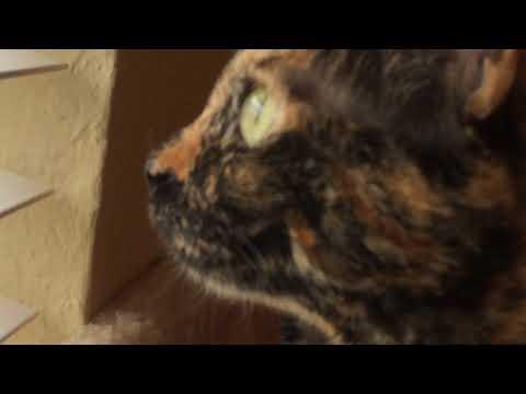 Tortie cat sees vultures