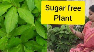 ఇంసులిం మొక్క పెంచడం ఎలా వాటి ఉపయోగాలు/  how to grow insulin plant n   they benefits.