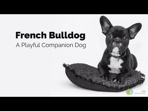 French Bulldog – A Playful Companion Dog