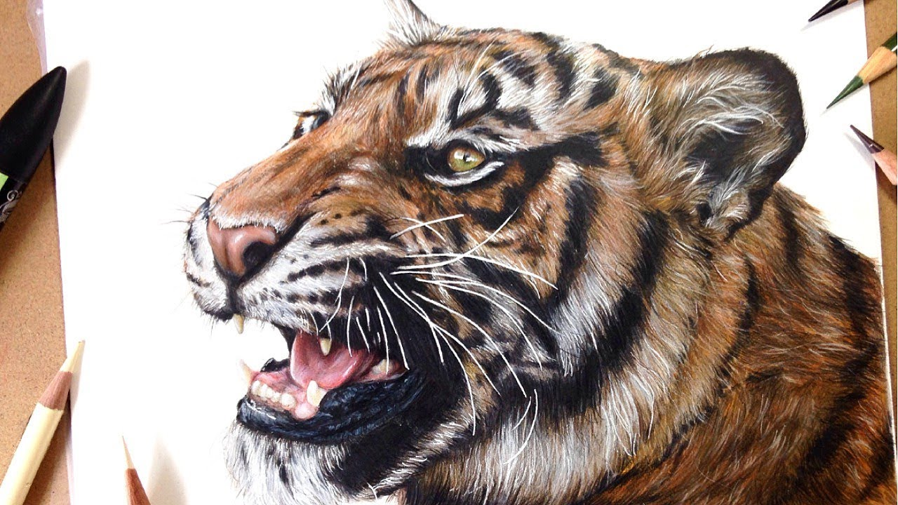 How To Draw a Realistic Tiger | Marker + Coloured Pencil ...