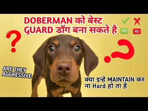 Can We Make Doberman Pinscher World Best Guard Dog ? It is easy or Hard to maintain doberman