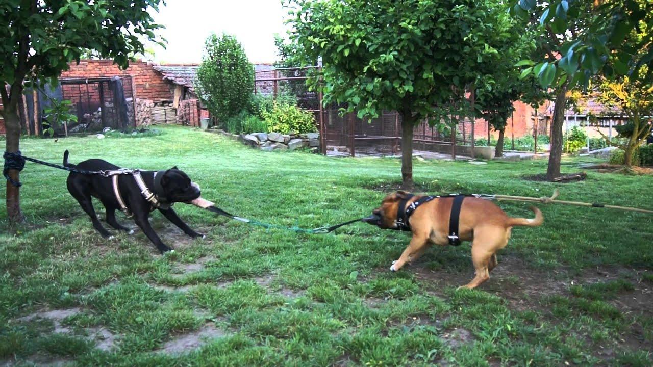 american staffordshire terrier vs staffordshire bull