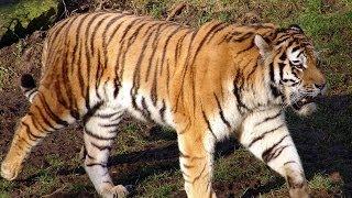 видео Рекомендации WWF по сохранению тигра в России