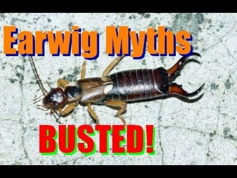 Earwig Facts And Footage - Dermaptera