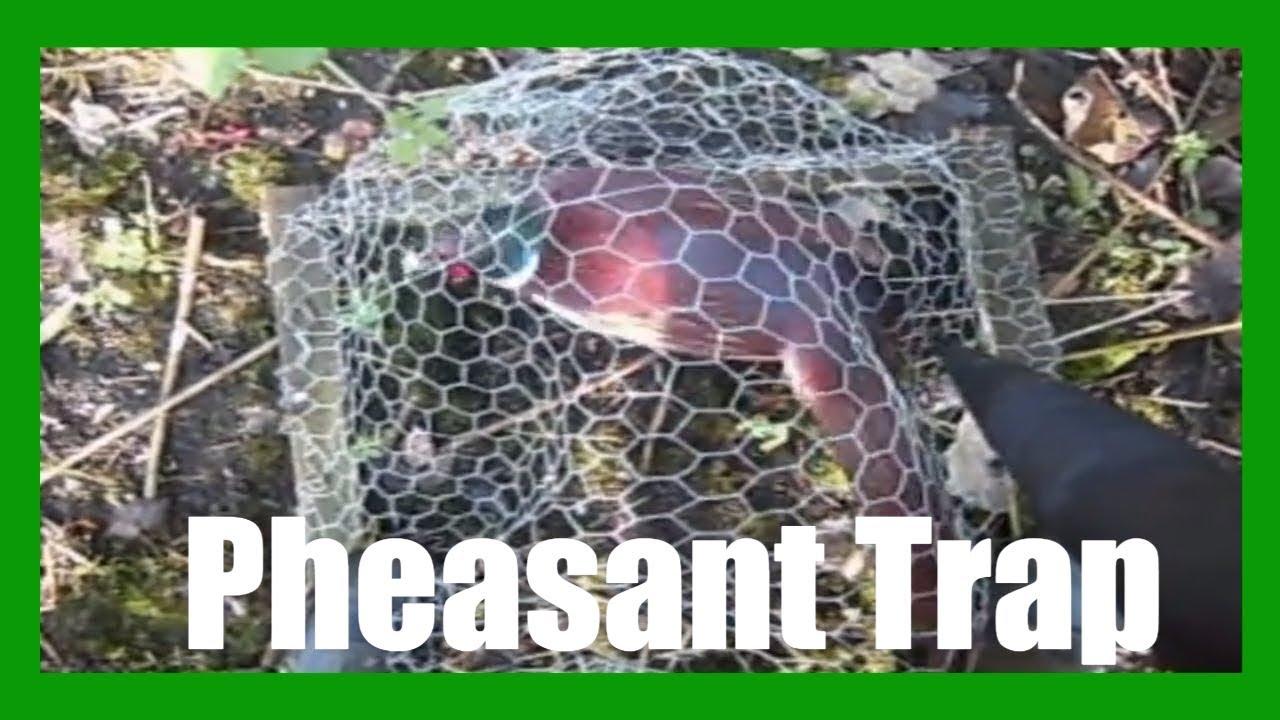 Pheasant Trap - YouTube