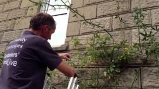 pruning climbing rose