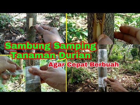 Teknik Sambung Samping Tanaman Durian Yang Tumbuh Dari Biji Agar Cepat Berbuah