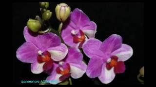 ❀Мои красотки орхидеи ❀ ❁ ❃ Phalaenopsis My beauty orchid(Мой надежный партнёр -