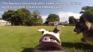 Gopro Fetch Harness: A Vetstreet Video Review