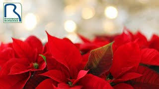 Where to Place Poinsettias in Your Home this Holiday Season
